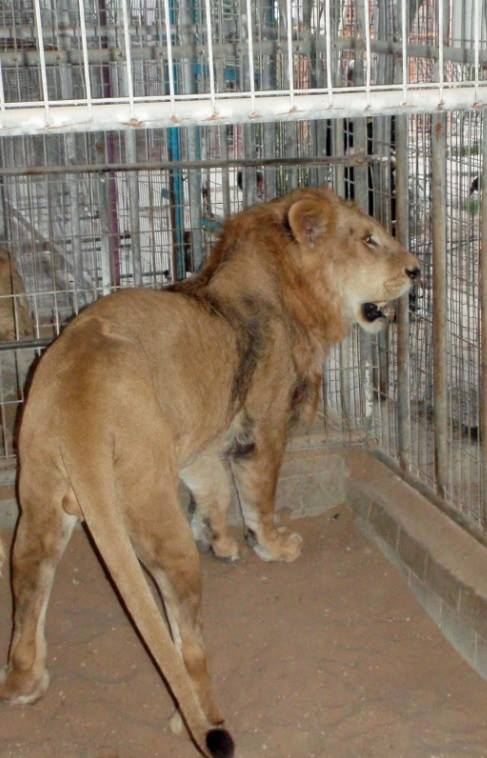 Terror Lion
