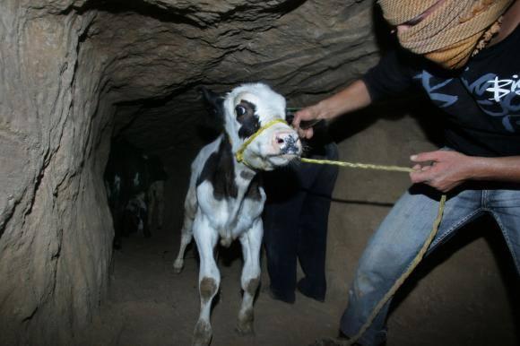 terror cow