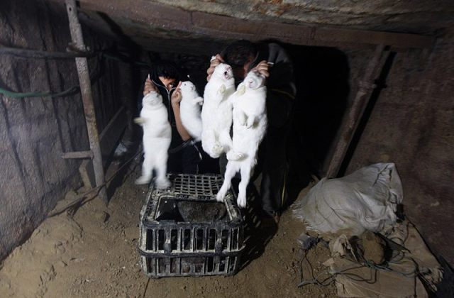 white terror rabbits