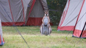 Macaroon Tent Wallaby